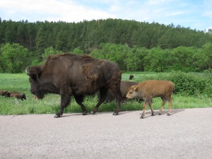 Buffalo in the Park